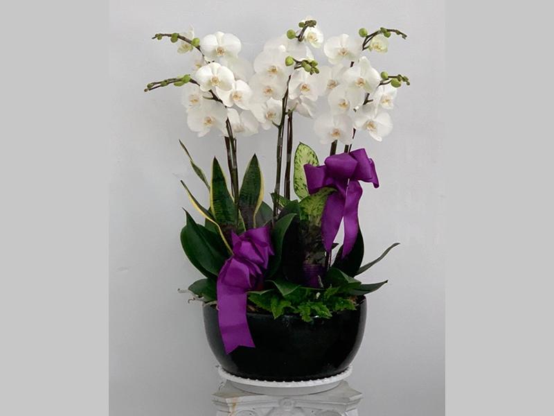 蘭花(一盆$2500