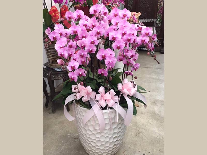 蘭花12~15株A(