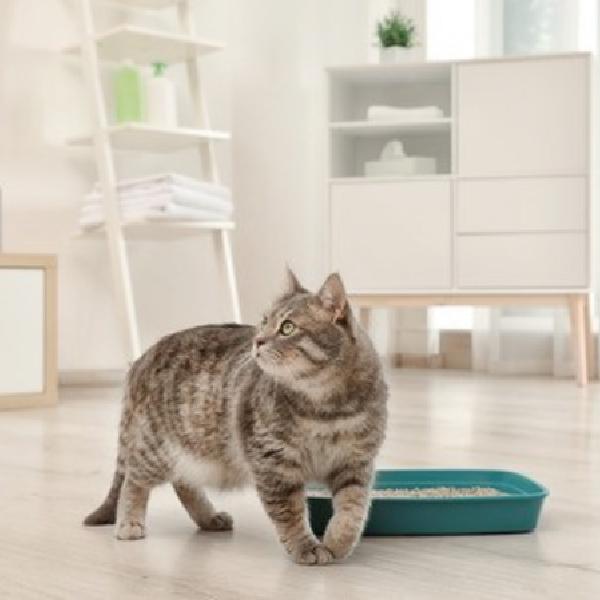 貓咪為什麼尿不出來?