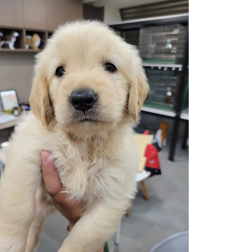 汪界最暖黃金獵犬❤️